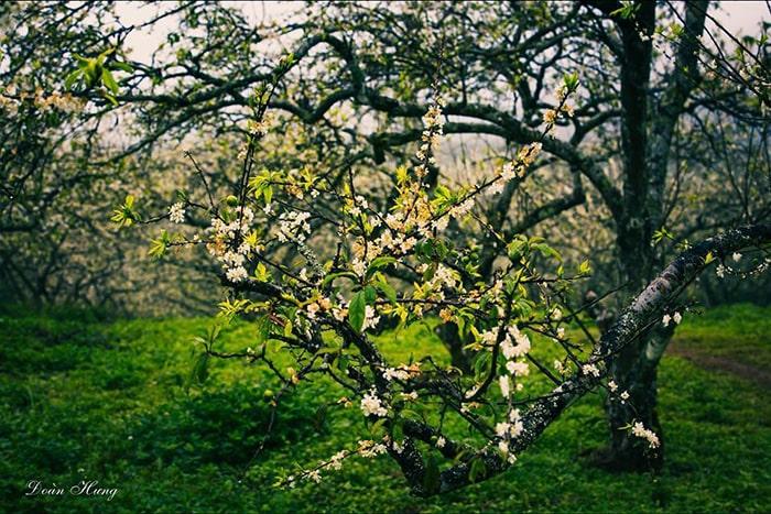 Bản Áng mùa hoa mận