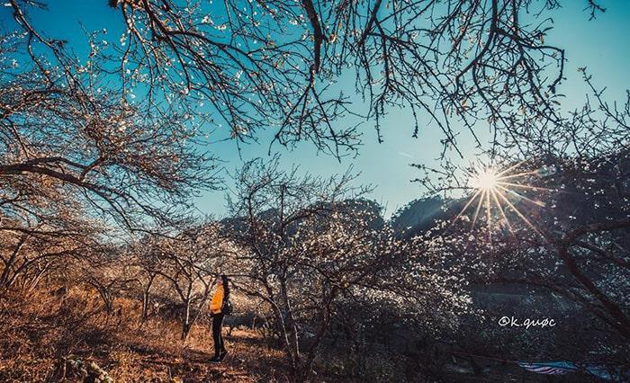 Bản Ba Phách là 1 trong những địa điểm ngắm hoa mận đẹp nhất Mộc Châu
