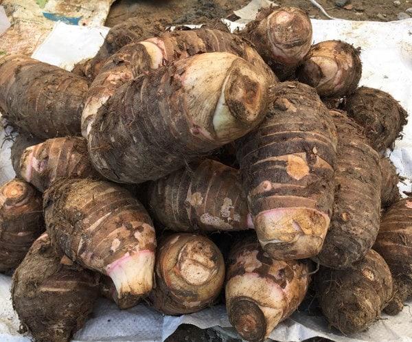 Những củ khoai sọ Mán Mộc Châu to, tròn
