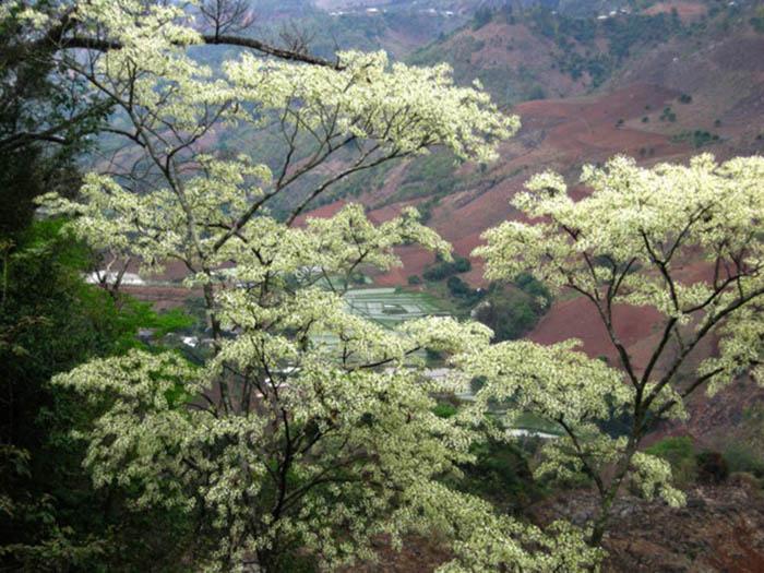 Cây thàn mát ở Mộc Châu khá giống với cây sưa ở Hà Nội