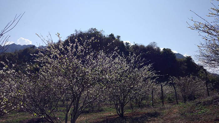Hoa mận nở ở khu rừng thông Bản Áng