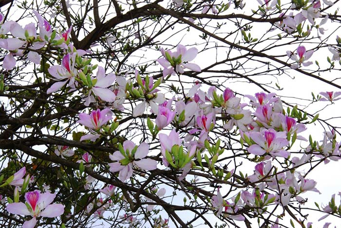 Mộc Châu mùa hoa ban tím