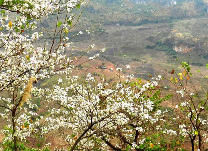 Hoa ban trên các sườn đồi ở Mộc Châu mùa xuân