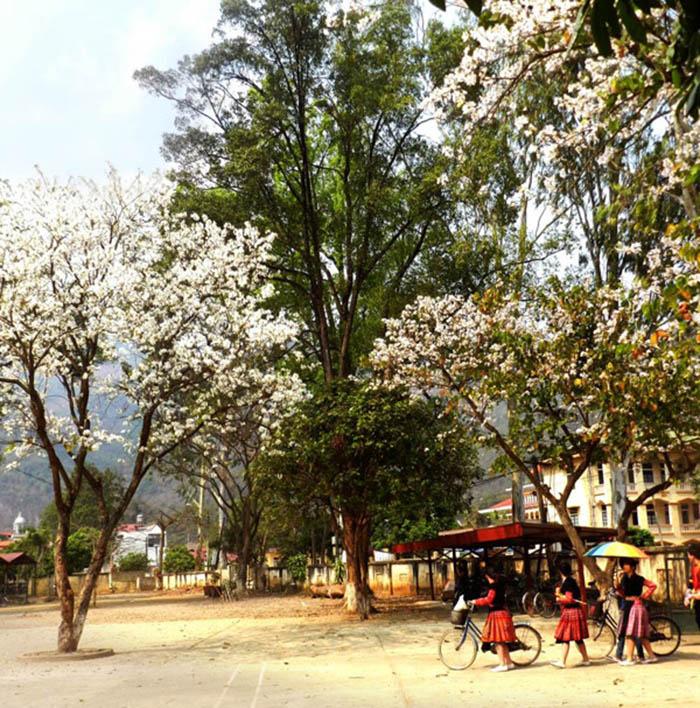 Hoa ban trong 1 trường học ở Mộc Châu