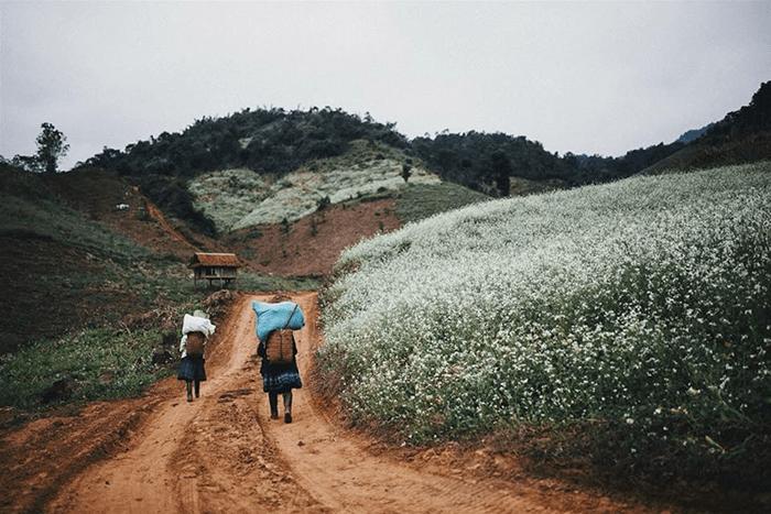 Hoa cải nở trắng những ngọn đồi ở Mộc Châu