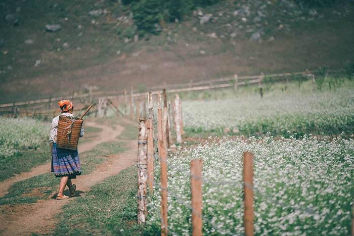 Những cánh đồng hoa cải nở rộ ven đường