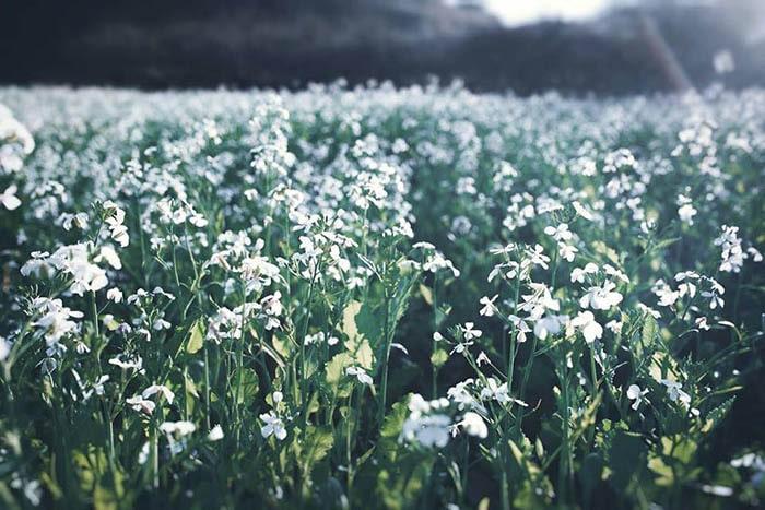 Hoa cải trắng nở rộ ở Mộc Châu vào khoảng tháng 11