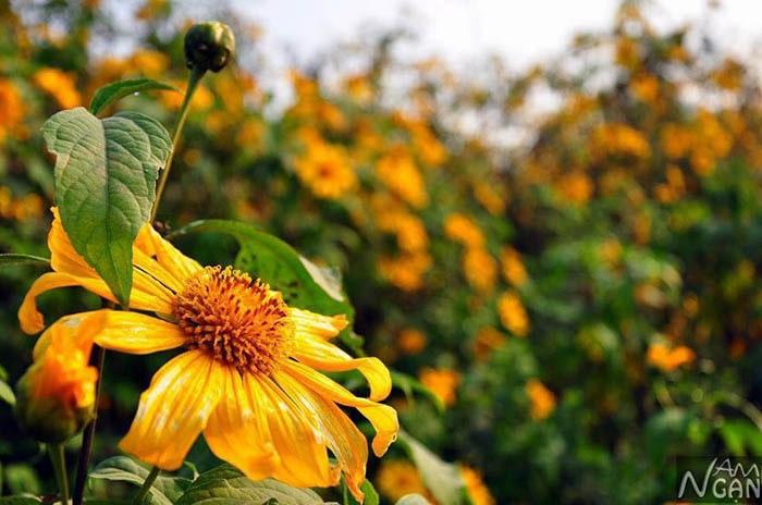 Hoa dã quỳ Mộc Châu nở vào mùa đông