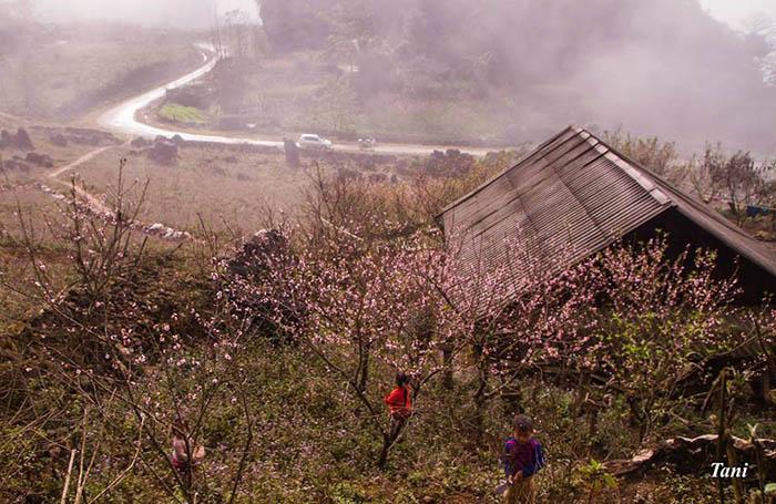 Hoa đào nở hồng các thung lũng ở Mộc Châu vào mùa xuân