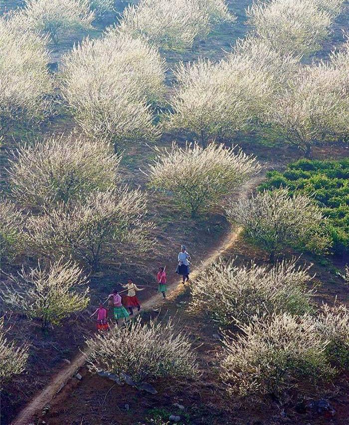 Thung lũng hoa mận ở Mộc Châu