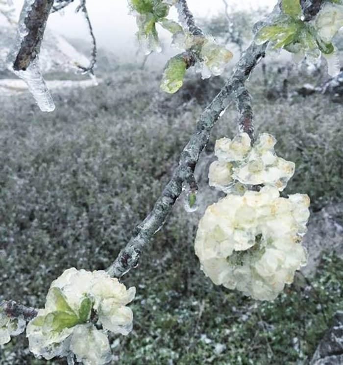 Hoa mận nở sớm ở Mộc Châu vào mùa đông