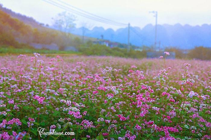 Vườn hoa tam giác mạch ở Mộc Châu