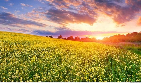 Vẻ đẹp mùa hoa cải Bản Áng