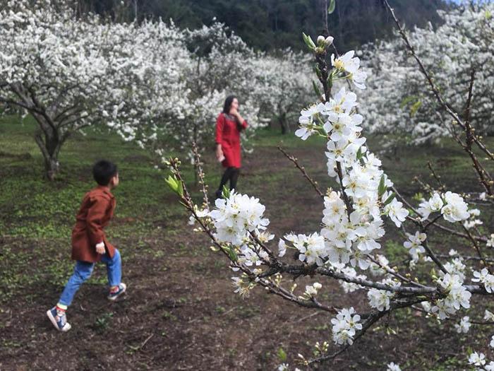 Thời tiết Mộc Châu mùa hoa mận khá lạnh