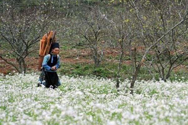 Cao nguyên Mộc Châu mùa hoa Tam giác mạch