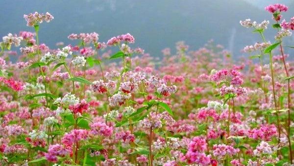Hoa tam giác mạch ở Mộc Châu sẽ nở 2 mùa trong một năm