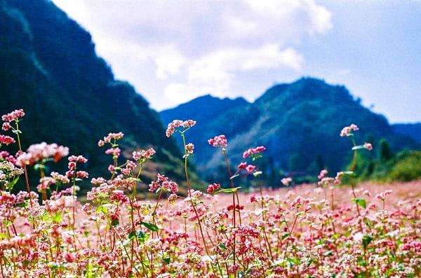 Vườn hoa tam giác mạch Lóng Luông