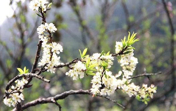Mùa hoa mận Mộc Châu rất mau tàn
