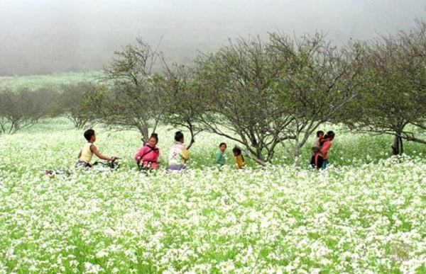 Hoa tam giác mạch ở bản Thung Cuông