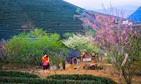 Hoa đào khoe sắc vào mùa xuân trên đồi núi Mộc Châu