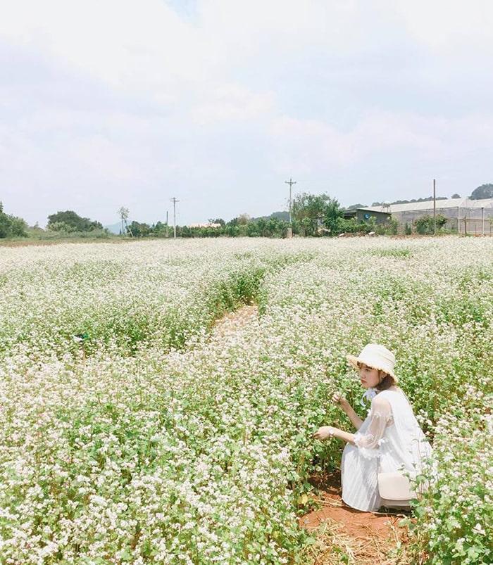 Hoa tam giác mạch Mộc Châu