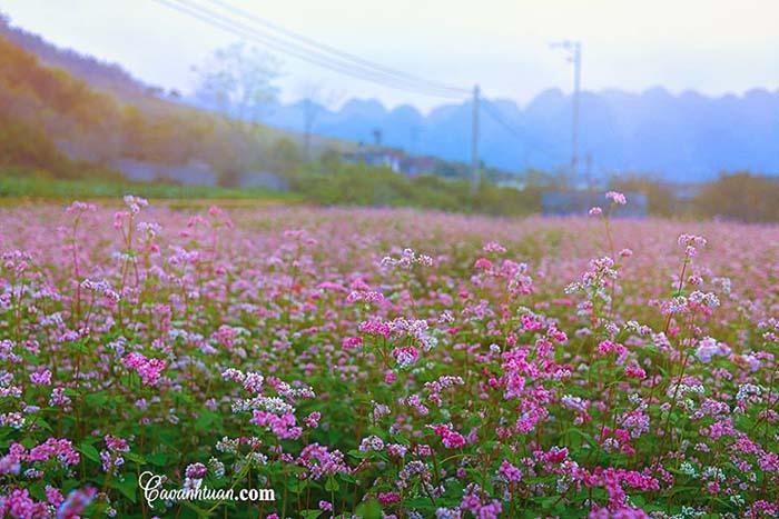 Mùa hoa tam giác mạch Mộc Châu