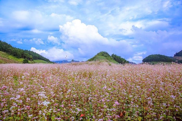 Hoa tam giác mạch trên đường lên Mộc Châu