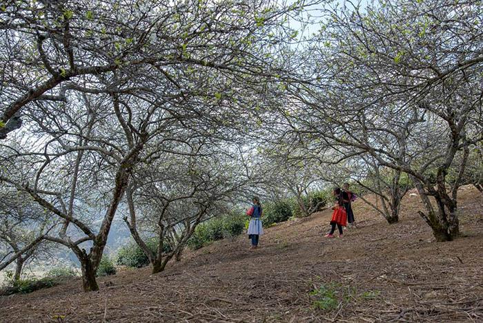 Hoa mận nở ở thung lũng Nà Ka