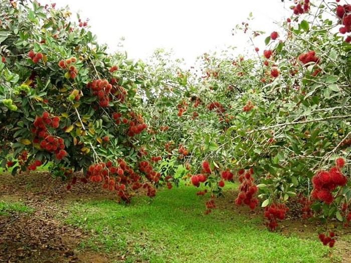 Vườn chôm chôm Tám Lộc