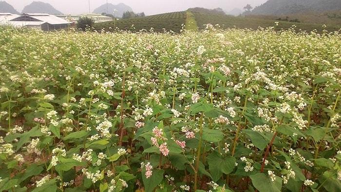 Vườn hoa tam giác mạch xứ Mộc ở Mộc Châu