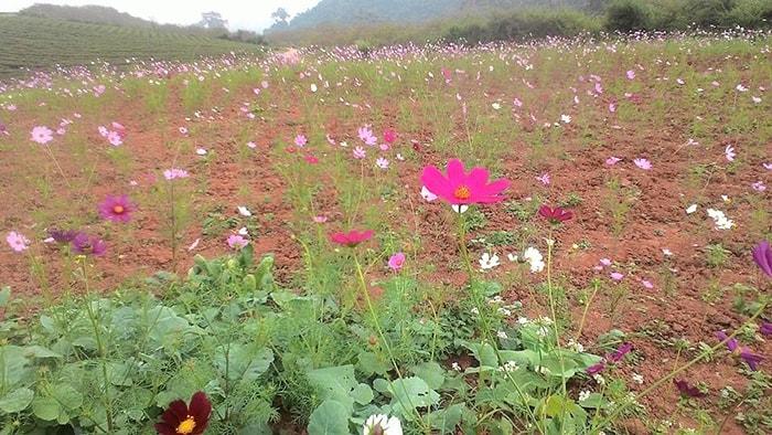 Những loài hoa khác ở vườn hoa xứ Mộc