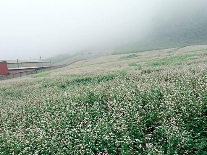 Vườn hoa tam giác mạch trắng ở Lóng Luông