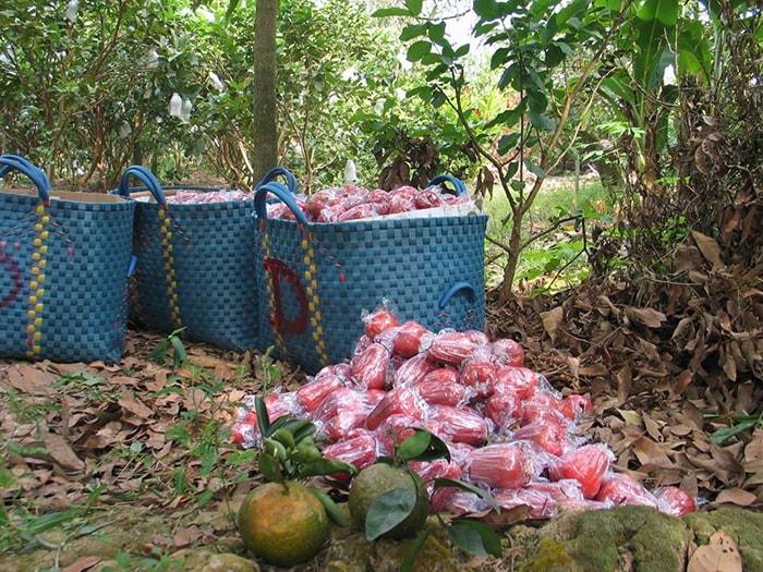 Thu hoạch trái cây ở miền vườn Cái Bè