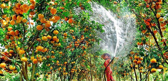 Những khu vườn trái cây gần Sài Gòn nổi tiếng