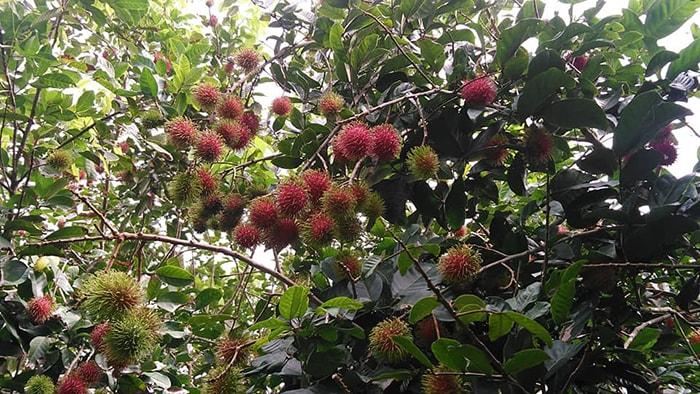 Vườn trái cây Sinh thái Rạch Kè