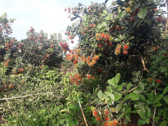 Chôm chôm ở vườn trái cây Út Tiêu, Long Khánh, Đồng Nai