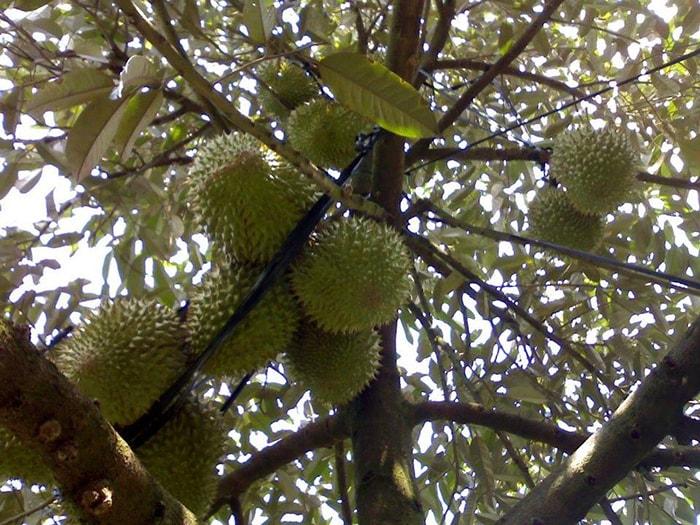 Sầu riêng trong vườn trái cây Vĩnh Kim, Tiền Giang
