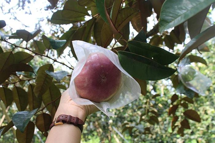 Đặc sản vú sữa Lò Rèn nổi tiếng ở vườn trái cây Vĩnh Kim