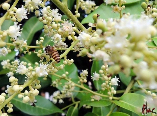 Mật ong nhãn là thức quà tuyệt vời từ thiên nhiên mà bạn có thể tìm thấy ở Văn Chấn
