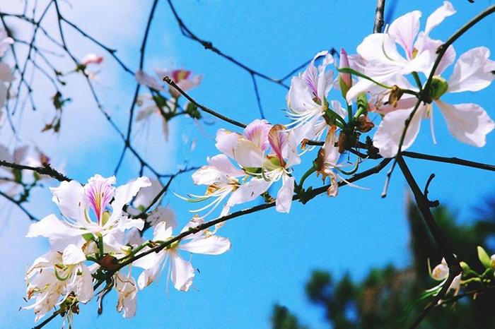 Mùa hoa ban ở Điện Biên vào tháng 3