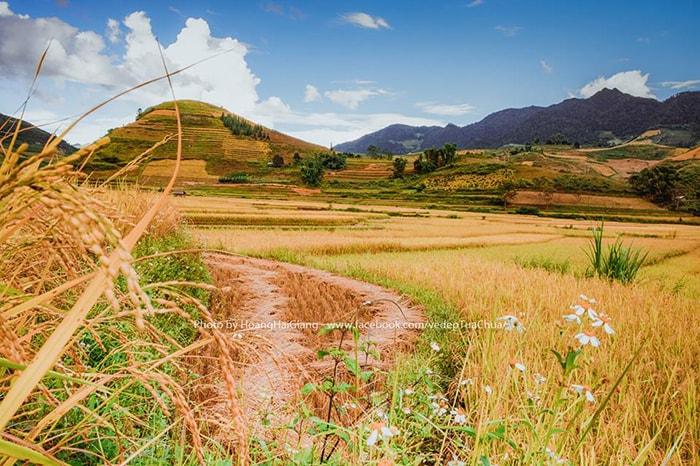 Mùa lúa chín vàng óng ở Tủa Chùa, Điện Biên