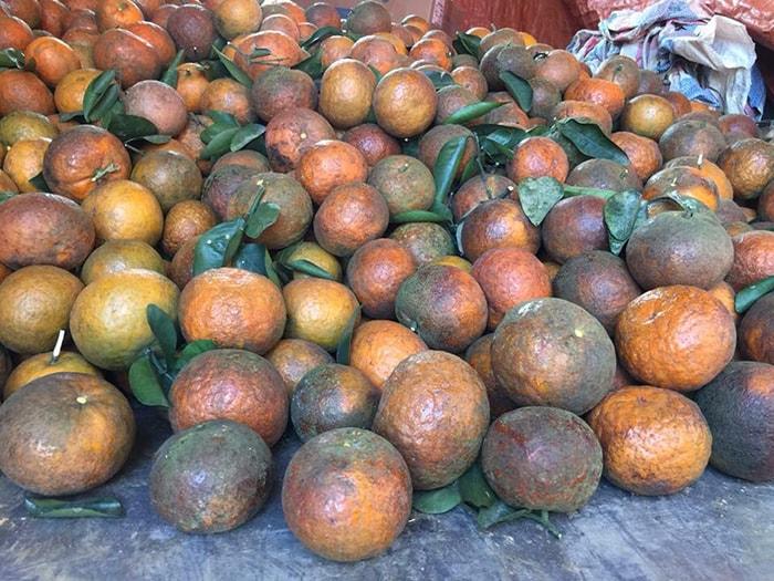 Đặc sản cam sành Bắc Quang, Hà Giang