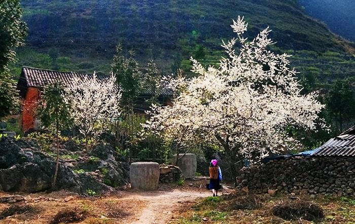 Mùa hoa đào, hoa mơ ở Hà Giang mùa xuân