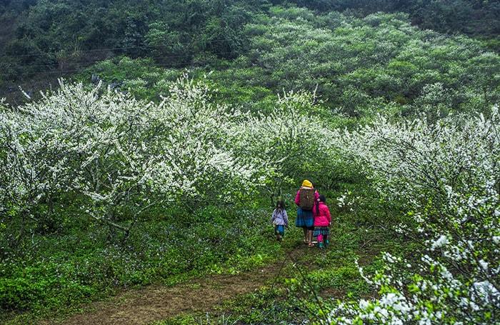 Mùa hoa mận ở Hà Giang mùa xuân