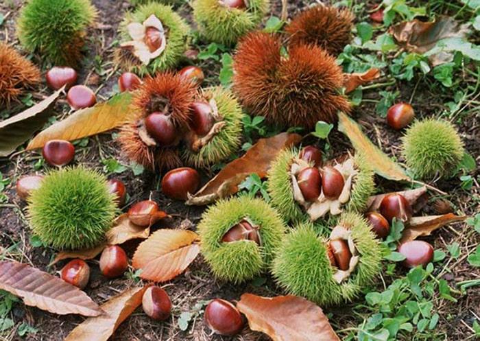 Đặc sản hạt dẻ rừng Sapa
