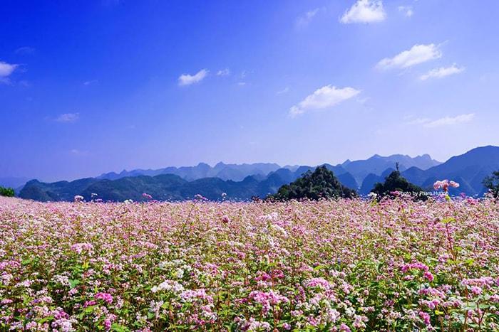 Hoa tam giác mạch ở Lũng Táo, Hà Giang