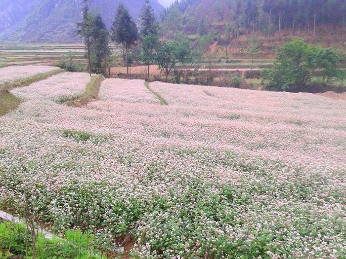 Mùa hoa tam giác mạch ở Hà Giang