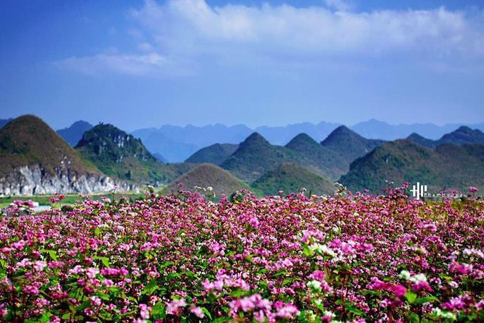 Hoa tam giác mạch ở Quản Bạ, Hà Giang