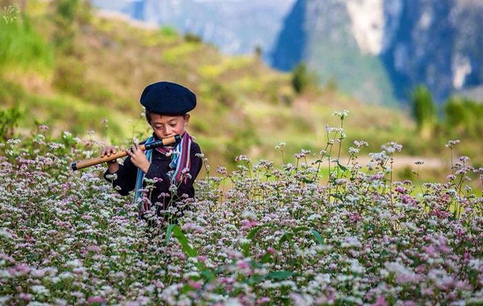 Hoa tam giác mạch ở Lũng Vân, Hà Giang