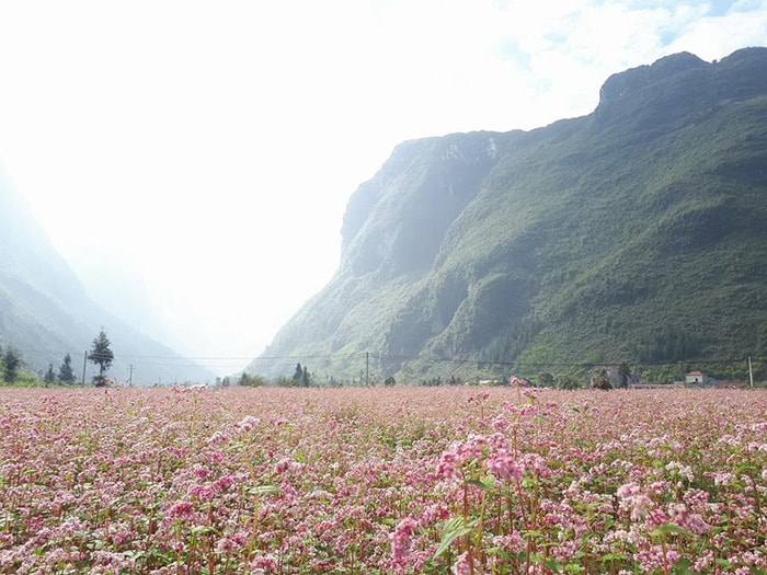 Cánh đồng ngập tràn sắc hồng của hoa tam giác mạch